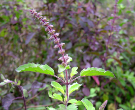 The Tulsi Plant Can Be Used To Remove Fluoride From Drinking Water